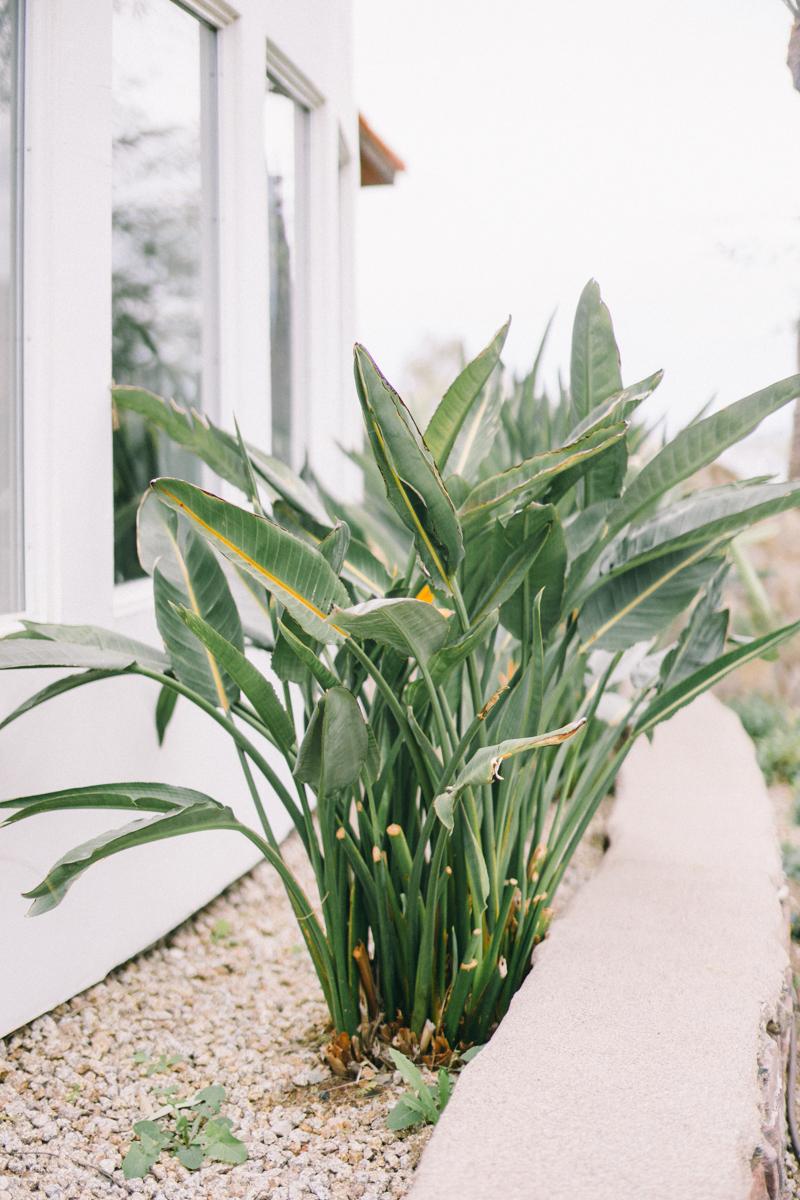 bird of paradise plant in phoenix arizona