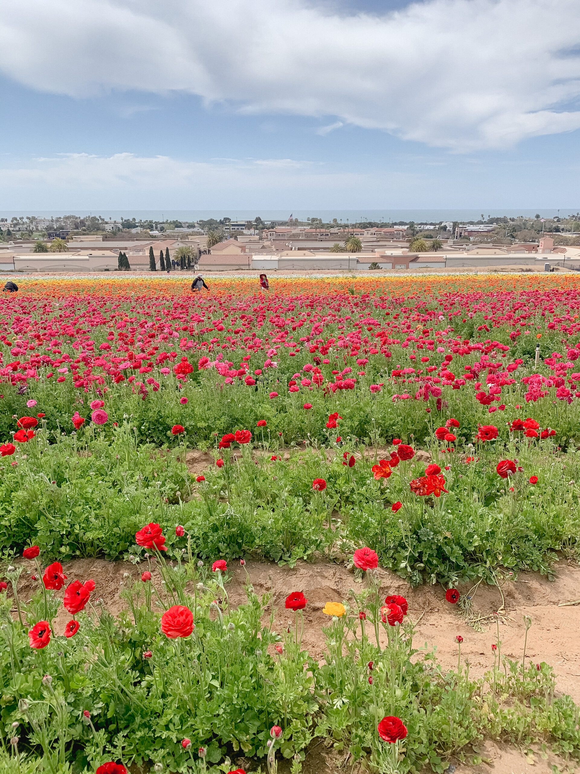 the flower fields carlsbad california