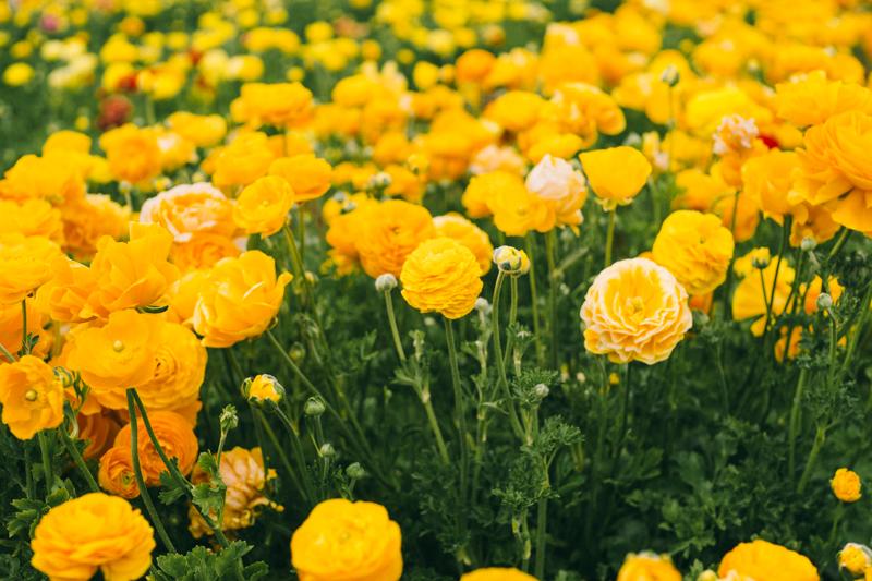 carlsbad flower fields california