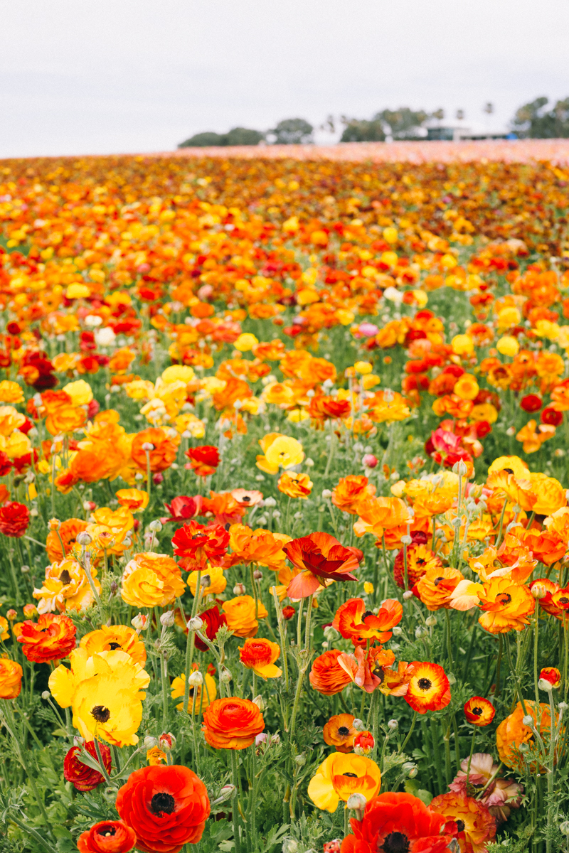 ranunculus flower farm