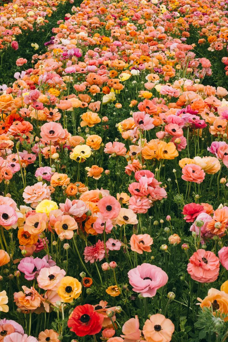 san diego flower farm california
