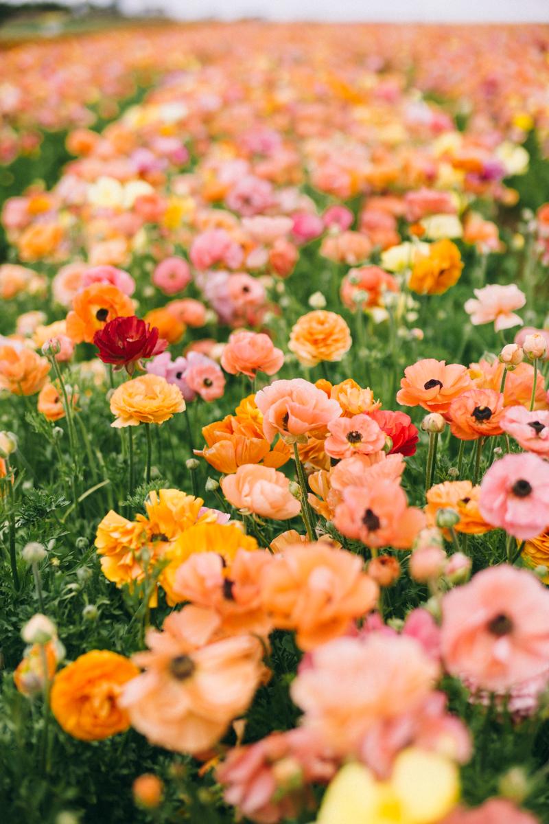 carlsbad flower farm